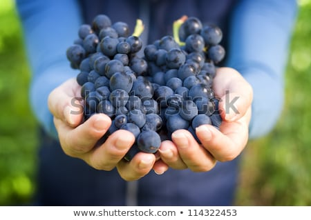Young beautiful Woman Harvesting the grapes in vineyard. stock photo © Yatsenko