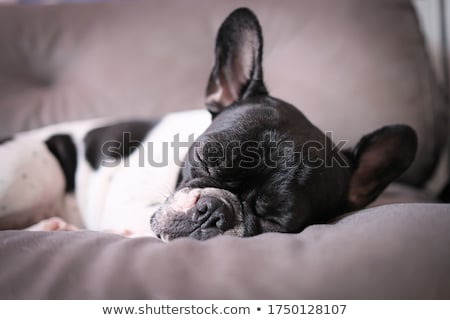 francia · bulldog · alszik · padló · közelkép · orvosi - stock fotó © OleksandrO