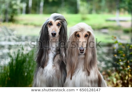 Portrait of two Afghan greyhounds, beautiful, dog show appearance. Stock photo © Wildstrawberry