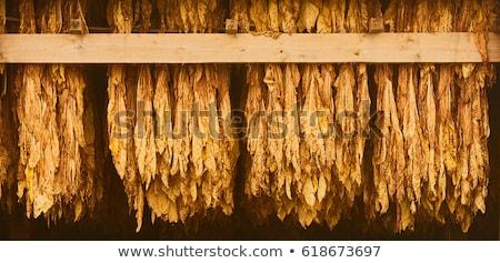Dohány akasztás levelek levél zöld farm Stock fotó © elly_l