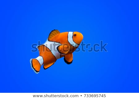 Cute clownfish on white background Stock photo © bluering