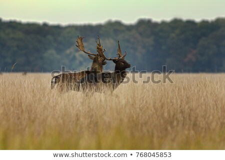 two fallow deer bucks preparing for the fight Stock photo © taviphoto