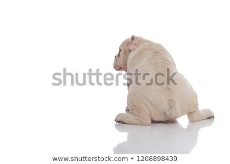Hátulnézet ülő fehér angol bulldog néz Stock fotó © feedough
