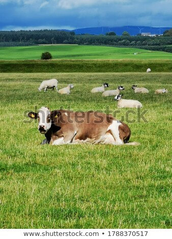 Cows and sheeps in the fields Stock photo © colematt