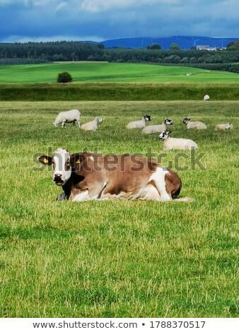 vacas · vários · diferente · humor · cores · touro - foto stock © colematt