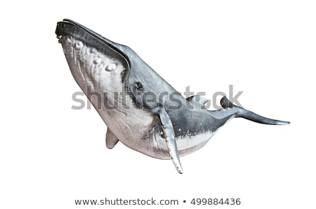 Humpback whale on white background Stock photo © colematt
