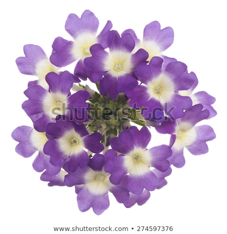 Single Verbena flower head on white background Stock photo © CatchyImages