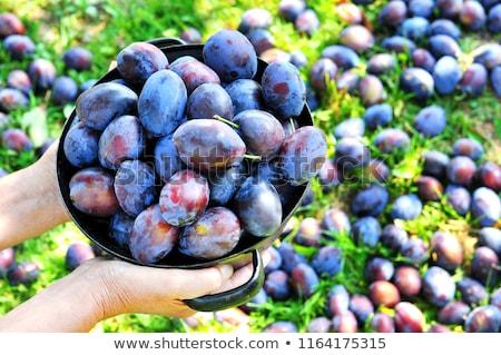 Farmer picking plum fruit in orchard Stock photo © simazoran