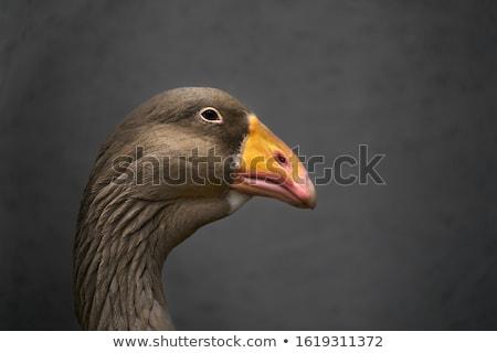肖像 ガチョウ 国内の ファーム 自然 鳥 ストックフォト © craig