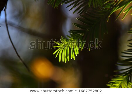 Sunlit frosted pine needles Stock photo © backyardproductions
