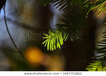 pine · bomen · zon · Blauw · star - stockfoto © backyardproductions
