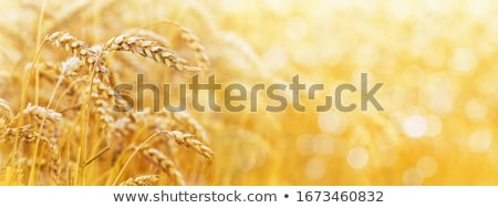 cereal spike in wheat golden field Stock photo © lunamarina