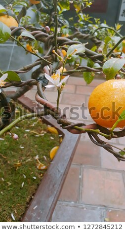lemon on tree 09 Stock photo © LianeM