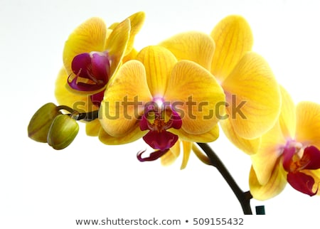 yellow orchid flowers stock photo © prill