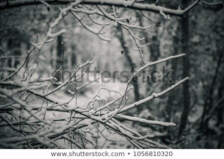 冬 · スプルース · カバー · 氷 · 長い - ストックフォト © saddako2
