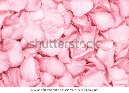 wet close up macro rose petals water drops stock photo © lunamarina