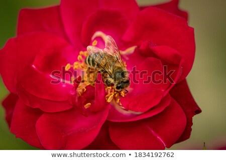 honingbij · water · natuur · groene · honing - stockfoto © len44ik