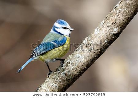 Azul teta sessão galho inverno pássaro Foto stock © dirkr