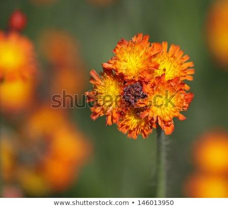 Turuncu kır çiçekleri atış cambridge ontario Stok fotoğraf © ca2hill