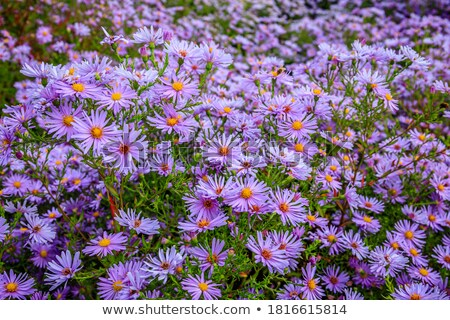 asters Stock photo © ssuaphoto