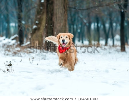 dog running in snow Stock photo © willeecole
