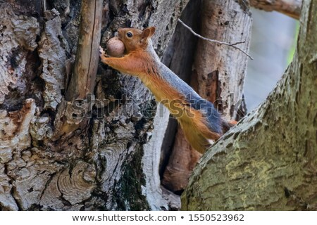 Red squirrel on tree with walnut in mouth. Stock photo © BSANI