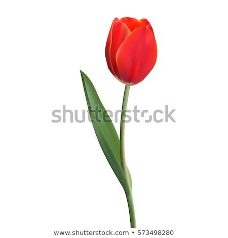 красный тюльпаны цветок дизайна рождения красоту Сток-фото © blackberryjelly