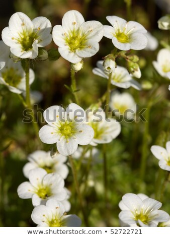 mossy saxifrage  Stock photo © LianeM
