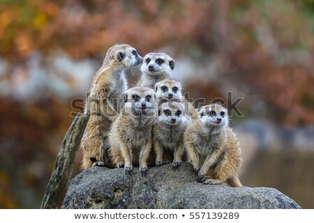 alert meerkat (Suricata suricatta) groups standing Stock photo © FrameAngel