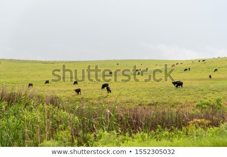 Intensive Winter Grazing Stock photo © rghenry