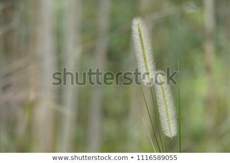 Gyógynövény zöld sörte fű közelkép kilátás Stock fotó © bbbar