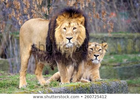Huwelijk leeuw illustratie familie natuur paar Stockfoto © adrenalina