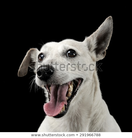 Stock photo: Mixed breed funny ears dog portrait in a dark photo studio