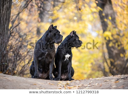 Stock photo: Portrait of an adorable Cane corso