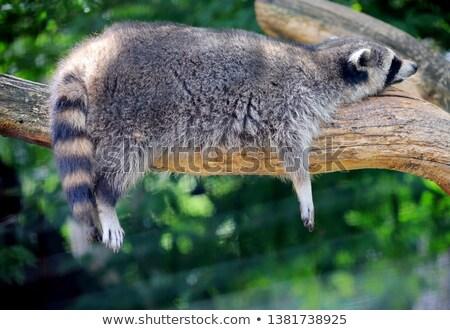 Wasbeer geen gekleurd cartoon illustratie Stockfoto © derocz