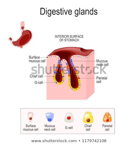 セル · 酸 · 要因 · 胃 · 壁 · 健康 - ストックフォト © tefi
