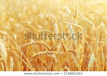 Geel tarwe oogst tijd veld Stockfoto © ssuaphoto