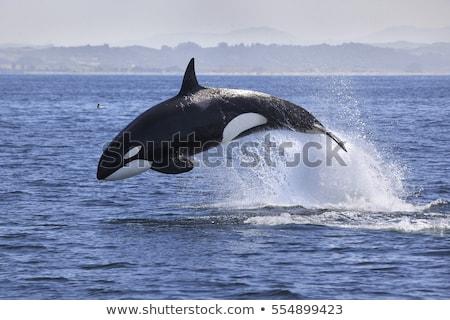 Moordenaar walvis illustratie cute natuur zee Stockfoto © Dazdraperma