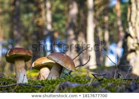 Boletos cogumelo crescimento ensolarado madeira floresta Foto stock © romvo