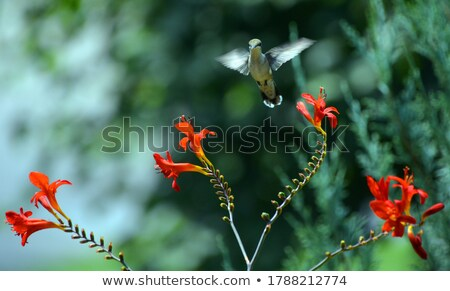 Young Rufous Hummingbird Perched on Flower Stock photo © davidgn