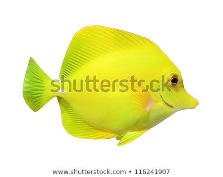 Yellow tang fish in aquarium Stock photo © boggy