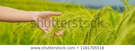 Stock fotó: érett · fülek · rizs · kéz · termékek · pelyhek