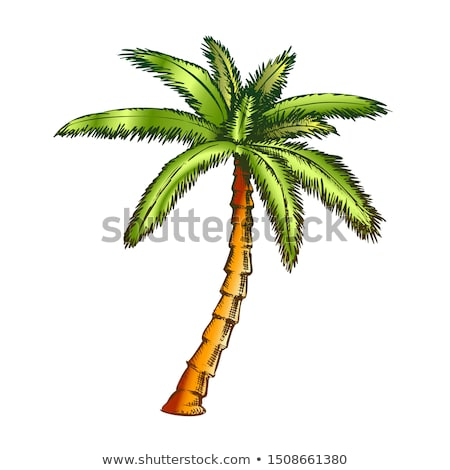 Ribbon Fan Palm Tropical Tree Color Vector Stock photo © pikepicture