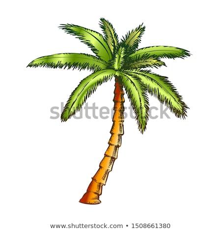 Szalag ventillátor pálma trópusi fa szín Stock fotó © pikepicture
