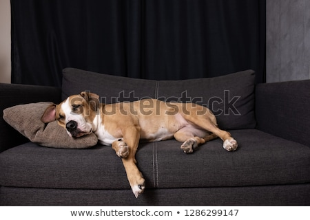 Сток-фото: Wide Angle Shot Of Adorable Staffordshire Terrier