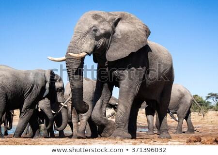 Elefante africano Botswana safari fauna selvatica cute baby Foto d'archivio © artush