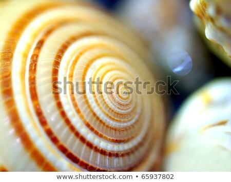 Conch Macro Background Stock photo © AlphaBaby