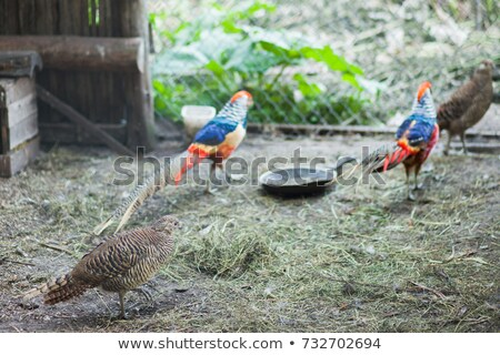 Pheasant in the cage Stock photo © olira