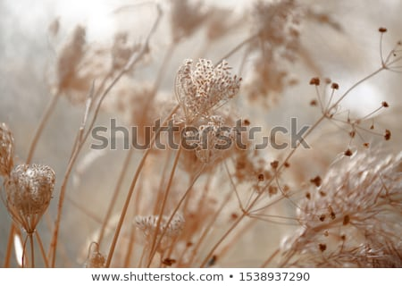 Asciugare erbe campo erba foglia bellezza Foto d'archivio © basel101658