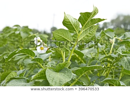 Potatoes field - flowering period Stock photo © pzaxe